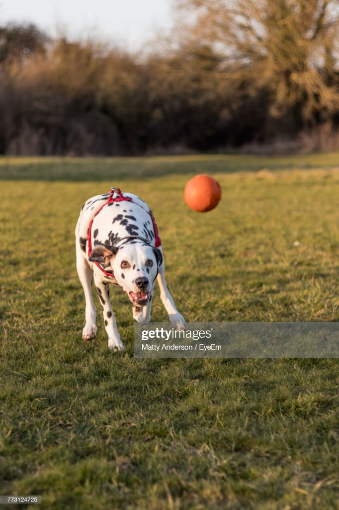 Dog Playing With Ball On Field : Photo