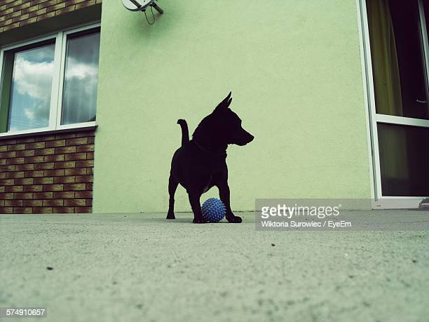 Dog Playing With Ball On Floor
