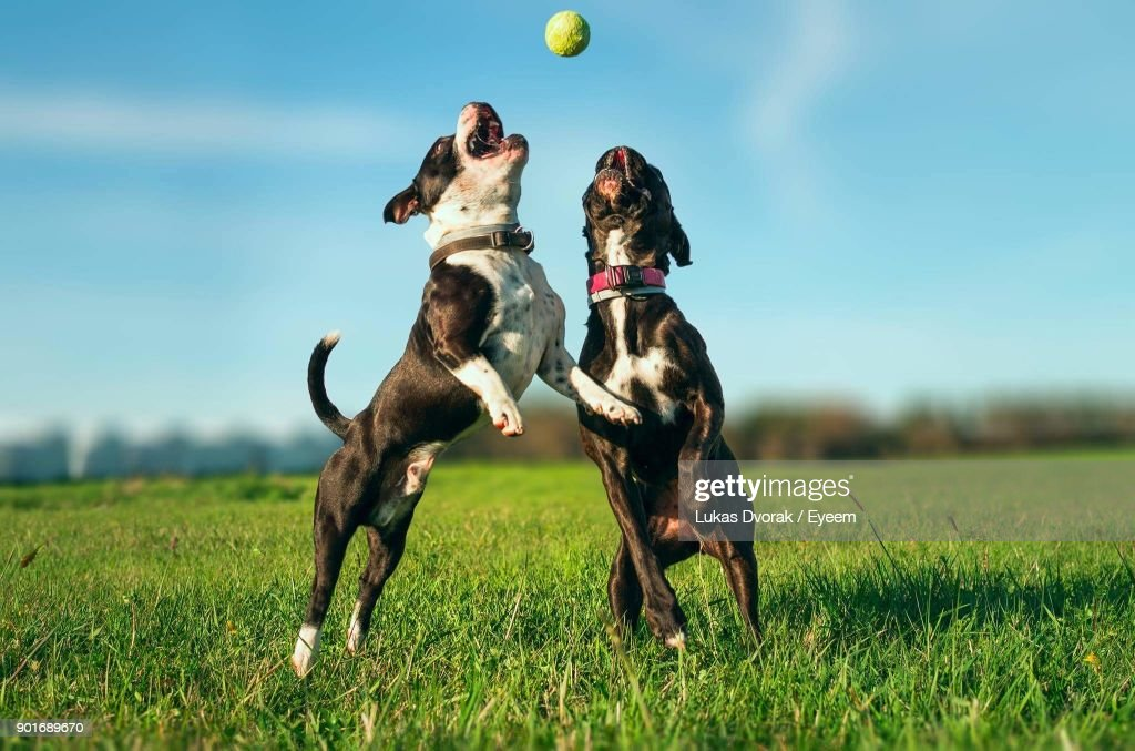 Dog Playing With Ball On Grass : Stock Photo