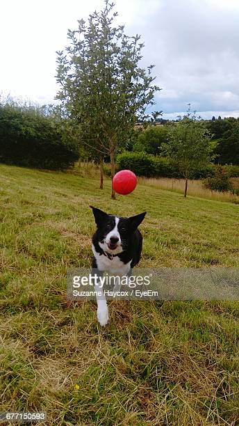 Dog Playing With Ball Park