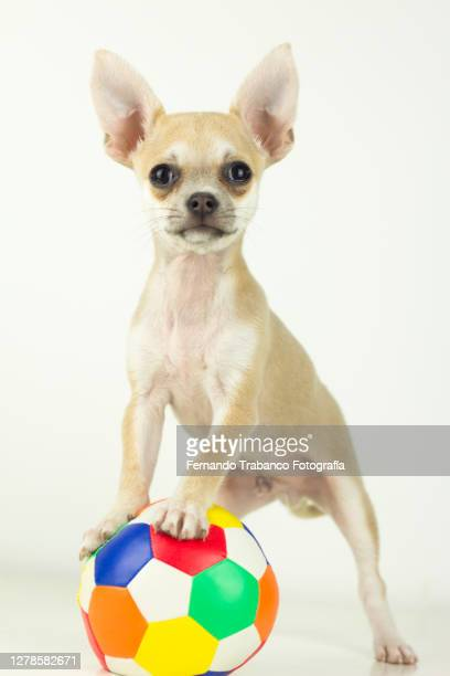 dog playing with ball - un seul animal photos et images de collection