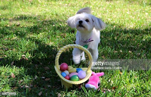dog playing with easter eggs in container on park - dog easter stock pictures, royalty-free photos & images