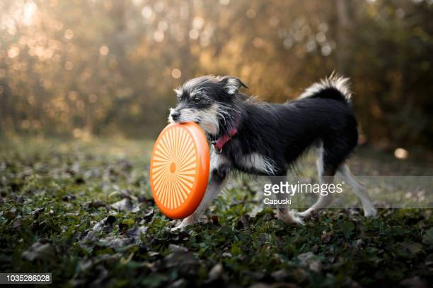 dog playing with frisbee disc - mixed breed dog stock pictures, royalty-free photos & images