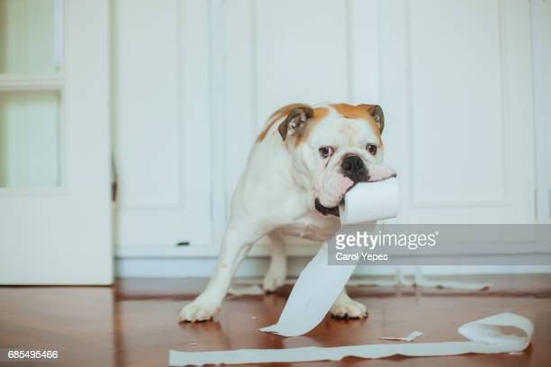 Dog playing  with lavatory paper on bathroom floor