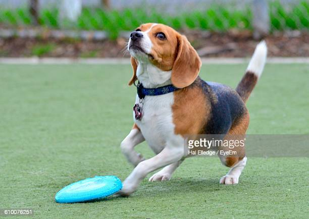 Dog Playing With Plastic Disc On Grassy Field