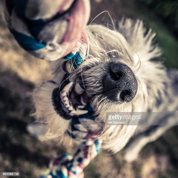 dog playing with rope - dogs tug of war stock pictures, royalty-free photos & images