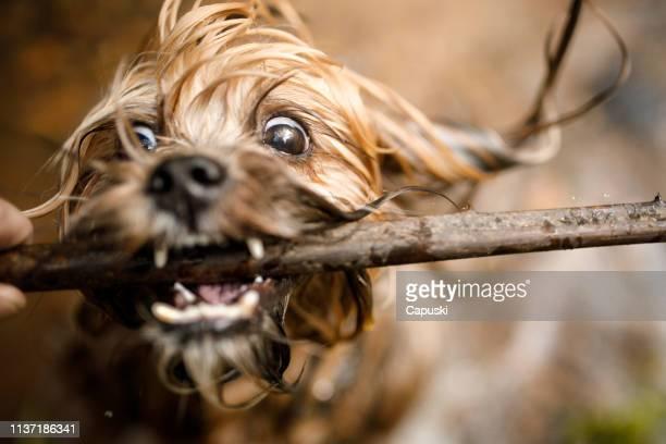 hund mit stock im fluss spielen - fotostock stock-fotos und bilder