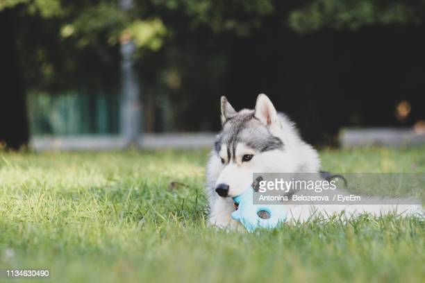 Dog Playing With Toy On Field