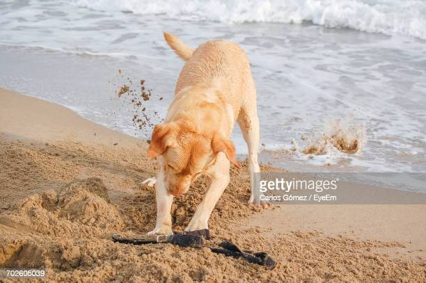 Dog Playing With Twig On Beach