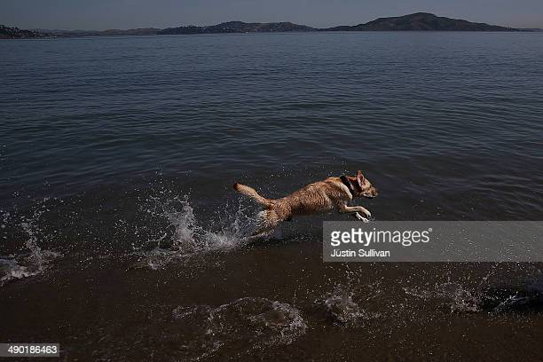 A dog plays in the San Francisco Bay at Crissy Field on May 13 2014 in San Francisco California The San Francisco Bay Area is experiencing record...