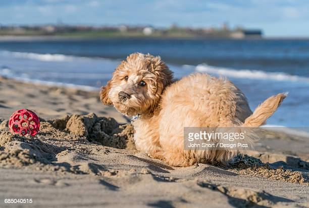 A dog plays in the sand at the beach