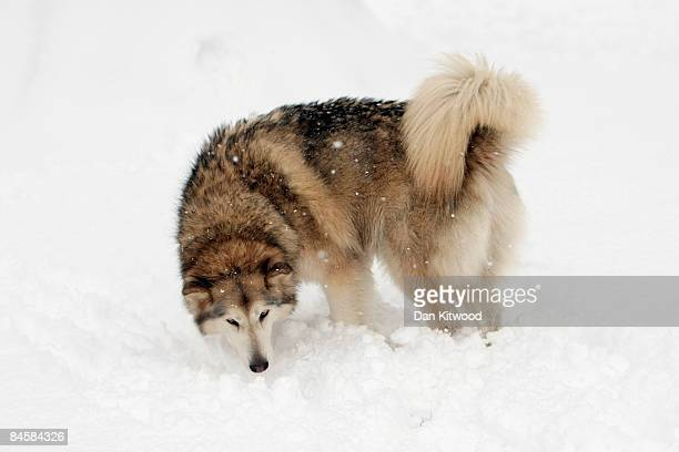 A dog plays in the snow in St James's park after a night of heavy snow on February 2 2009 in London England Heavy snow has fallen across parts of...
