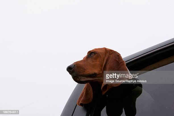 dog poking head out car window - hound stock pictures, royalty-free photos & images