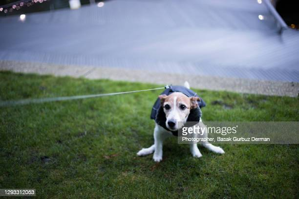dog pooping, defecating - dog stock pictures, royalty-free photos & images