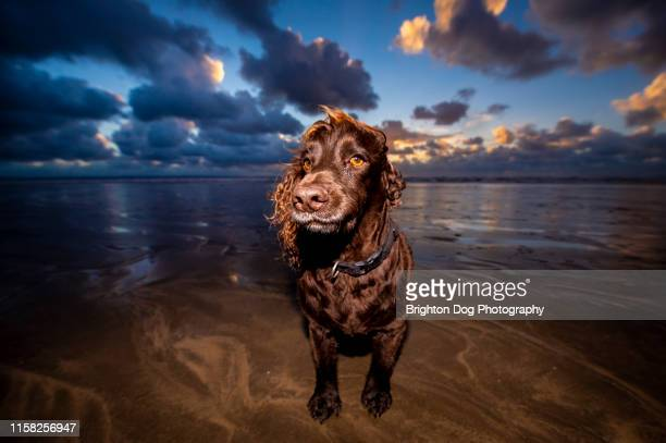 dog portrait at the beach - alternative pose stock pictures, royalty-free photos & images