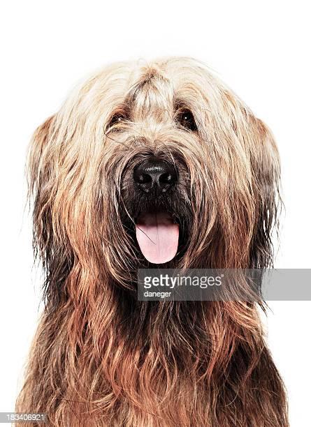 Dog Portrait - Briard