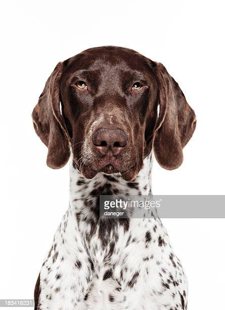 dog portrait - german short-haired pointer - german shorthaired pointer stock pictures, royalty-free photos & images