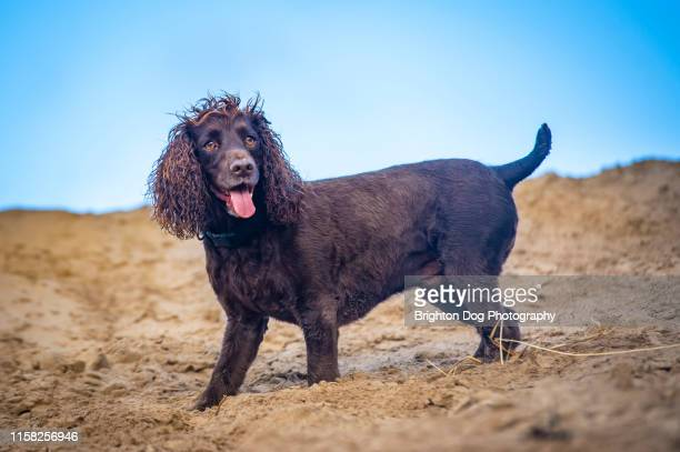 dog portrait in the sand dunes - spaniel stock pictures, royalty-free photos & images