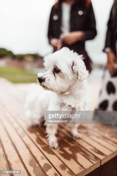 retrato do cão na rua - poodle - fotografias e filmes do acervo