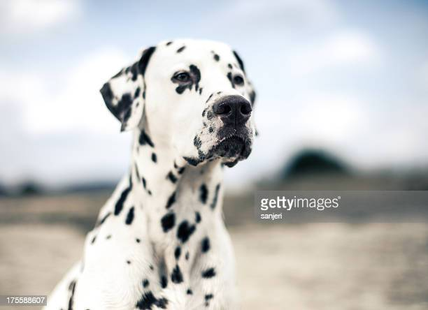 dog portrait - dalmatian dog stock photos and pictures