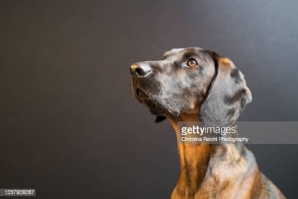 dog portrait studio shot - dog breeds stock pictures, royalty-free photos & images