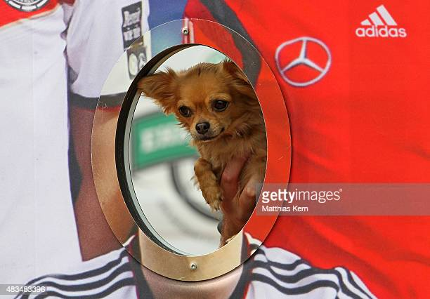 A dog poses during the DFB Ehrenrunde on August 9 2015 in Lichtenstein Germany