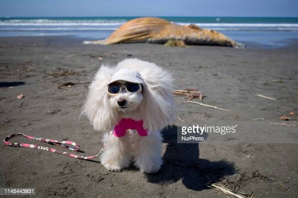 A dog posing in front a dead whale that sits on the shore in Kamakura Kanagawa Prefecture on May 22 2019