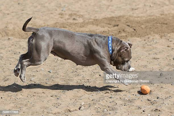 dog pouncing at the beach - american pit bull terrier stock pictures, royalty-free photos & images