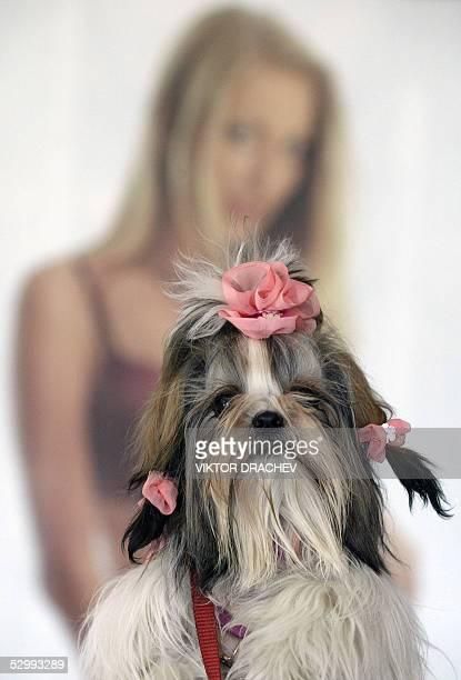 Dog presents a creation of Belarus designer Elena Vorohobko, during an annual fashion show 28 May 2005 in Vitebsk, 260 km from Belarus capital Minsk....