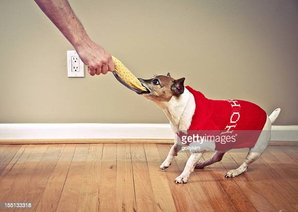 Dog pulling toy from man's hand