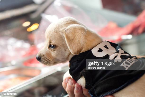 A dog pup sitting at Anne Kroenke's Barfshop in Berlin Germany 4 February 2016 Barf is short for 'Bones and raw foods' a method that is based on the...