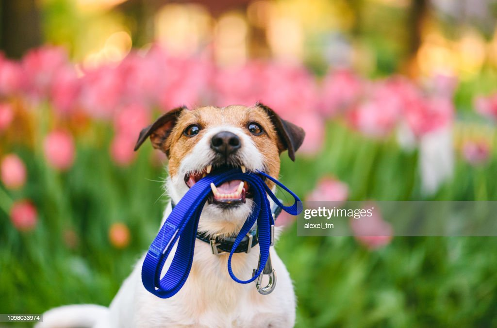 Dog ready for a walk carrying leash in mouth at nice spring morning : Stock Photo
