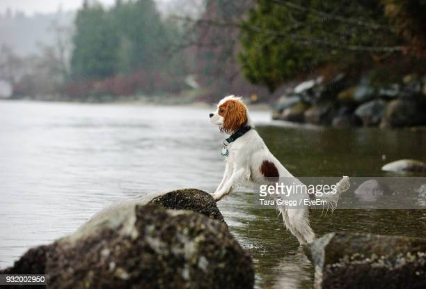dog rearing up on rock in lake against sky - cavalier king charles spaniel photos et images de collection