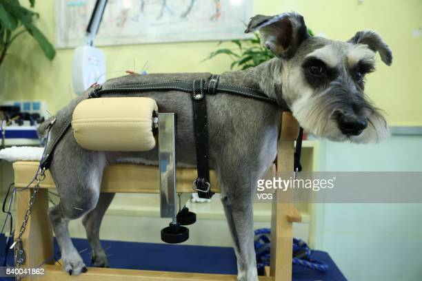 A dog receives acupuncture at a pet treatment center on August 27 2017 in Shanghai China A pet treatment center uses acupuncture and smoking wormwood...