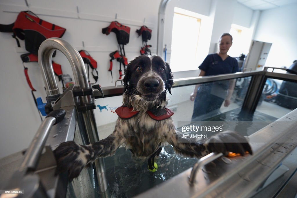 A dog recvieves treatment in the hydrotherapy tank at the small animal hospital at the School of Veterinary Medicine at the University of Glasgow on April 30, 2013 in Glasgow, Scotland. One of only two veterinary schools in Scotland, University of Glasgow School Of Veterinary Medicine was founded in 1862 by James McCall, it attracts students and researchers from around the world where they train over a 5 year course to become Veterinarians on a broad range of animals large and small.