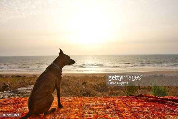 a dog relax as the sun sets - as stock pictures, royalty-free photos & images