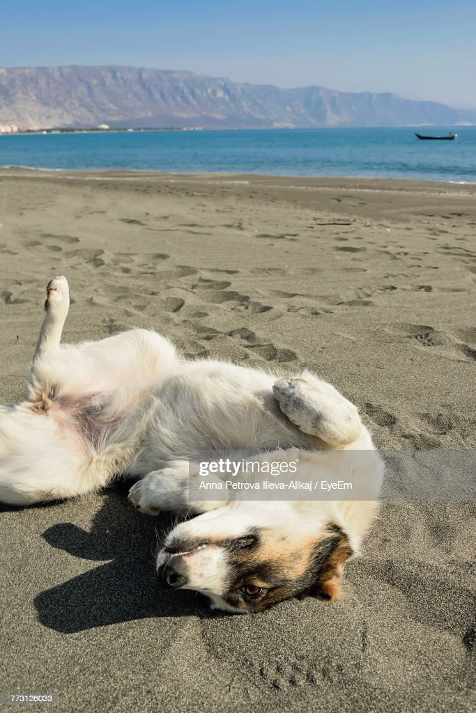 Dog Relaxing At Beach : Photo