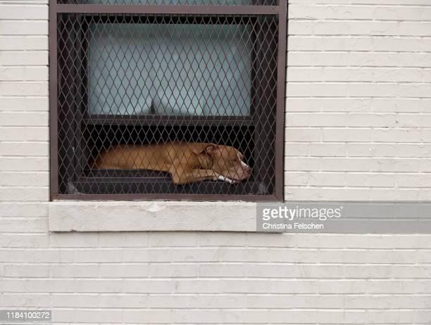 dog relaxing behind bars in a window of a street in harlem, new york city, usa - christina felschen - fotografias e filmes do acervo
