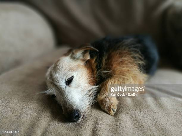dog relaxing on bed at home - sandhurst stock pictures, royalty-free photos & images