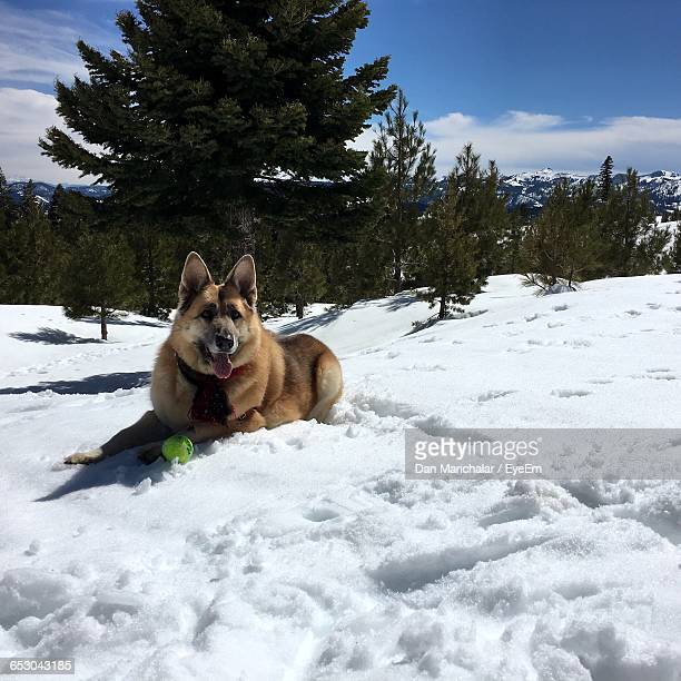 dog relaxing on snowcapped field - dan peak stock photos and pictures