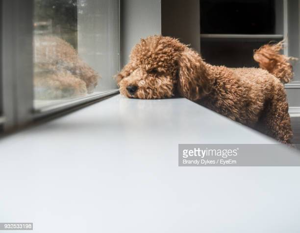 dog relaxing on window sill at home - goldendoodle stock-fotos und bilder