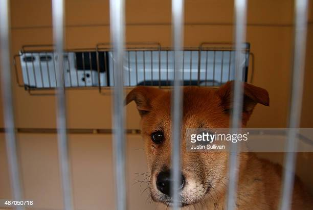 A dog rescued from a South Korean dog meat farm sits in a crate at the San Francisco the San Francisco Society for the Prevention of Cruelty shelter...