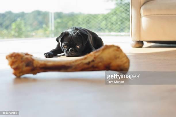 Dog resisting bone in living room