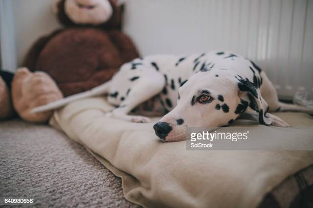 dog resting in bed - pet bed stock pictures, royalty-free photos & images