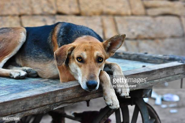 A dog resting on an old cart at the base of Jaisalmer Fort, Jaisalmer, Rajasthan, India