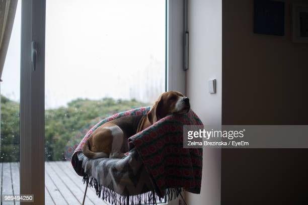Dog Resting On Chair By Window At Home