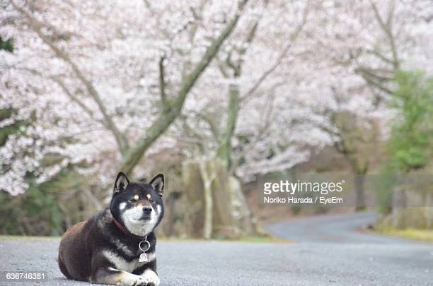 Dog Resting On Empty Road Against Cherry Trees