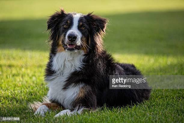 dog resting on lawn - australische herder stockfoto's en -beelden