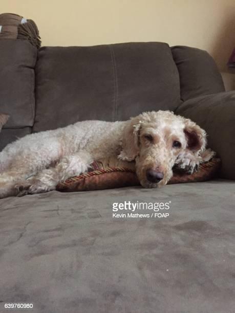 A dog resting on sofa