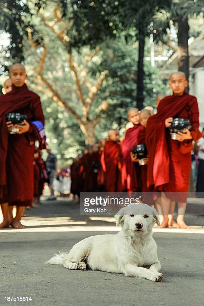 CONTENT] A dog rests at the head of a line of monks before a ceremony begins Thousands of monks at the Mahagandayon Monastery in Myanmar line up...